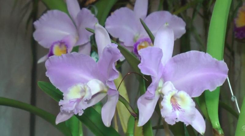 Começa nesta sexta-feira a maior Exposição de Orquídeas do Brasil