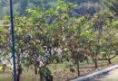 300 mudas de árvores serão plantadas neste domingo no Guaxupé Country Clube