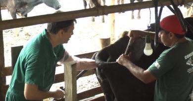 Mais Genética: cerca de 70 vacas já foram inseminadas neste ano