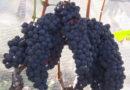 É período de colheita da uva de inverno