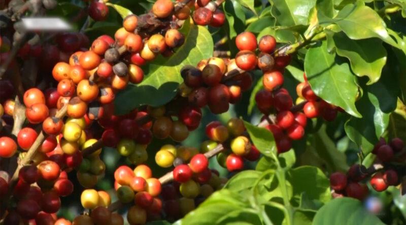 Alta no preço do café traz esperanças aos produtores do país