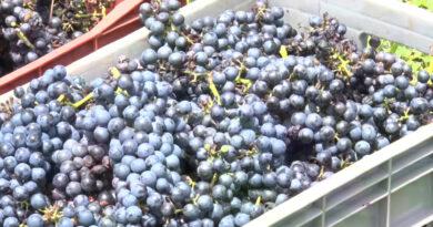 Produtores de Andradas fazem a colheita da uva
